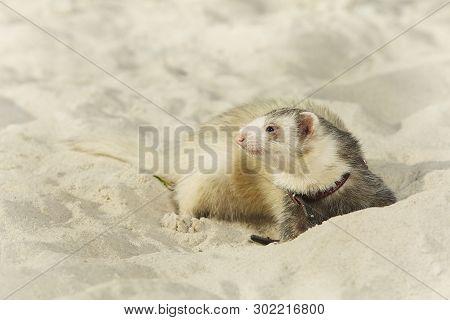 Light color ferret portrait in beach sand poster