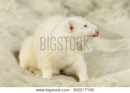 Ferret albino portrait of summer style on beach sand poster