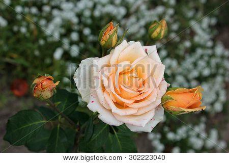 Beautiful Roses Close Up. Cream Roses In The Garden