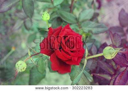 Beautiful Roses Close Up. Red Roses In The Garden