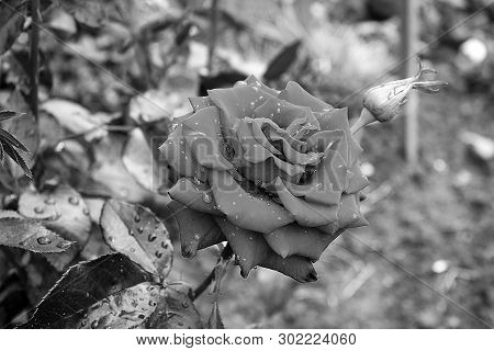 Beautiful Roses Close Up. Black And White Photo