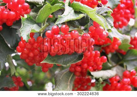 Beautiful Red Viburnum. Bunches Of Viburnum. Red Bright Berries