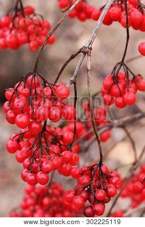Beautiful Red Viburnum. Bundles Of Viburnum. Red Bright Berries In Autumn