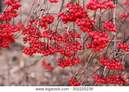 Beautiful Red Viburnum. Bundles Of Viburnum. Red Bright Berries In Autumn