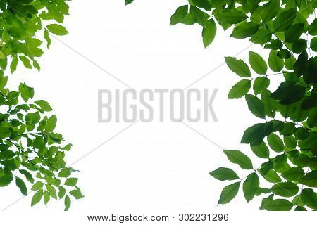 Tropical Tree Leaves With Branches On White Isolated For Green Foliage Backdrop