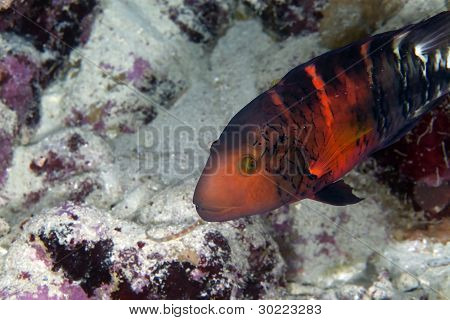 Red-breasted splendour wrasse in de Red Sea.