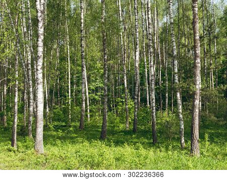 Birch Grove. White Tree Trunks On A Green Background