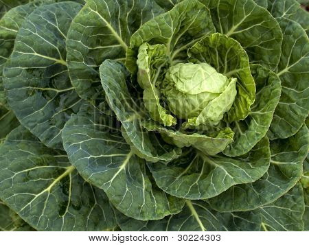 Vegetables - Organic _ Brussels Sprout