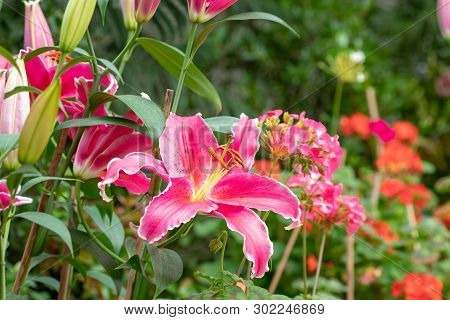 Big Pink Beautiful Tiger Lily Flower In The Garden