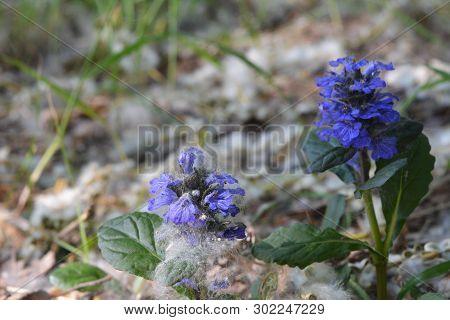 Ajuga Reptans. Carpet Bugleweed. Wild Flowers In Urban Yard. Guerrilla Gardening.