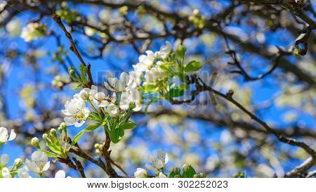 Close-up View Of Pear Tree Branch With Buds And Sprigs Of Blossoms Growing On Backyard Of South Aust