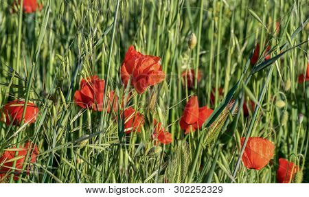 Scene With Natural Poppy Flowers In The Spring.