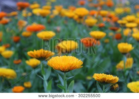 A Beautiful Yellow Flower In A Bunch Of Yellow And Orange Flowers In Bright Sunlight.