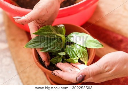 Care Of Home Plants. A Woman Plants A Potted Flower For Flowers.