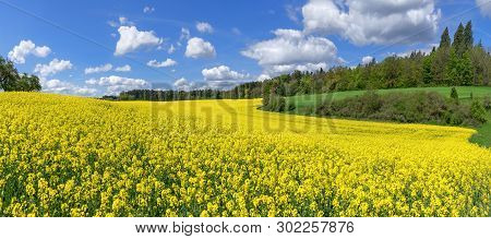 Picturesque Flowering Rapeseed Field In A Slightly Hilly Landscape With Bushes And Trees