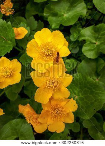 Three Yellow Marsh Marigold Flowers In Green Leaves