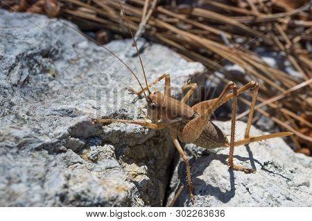 Closeup Of Wingless Brown Big Grasshopper On A Stone In Its Natural Habitat, Mediterranean Coastal A