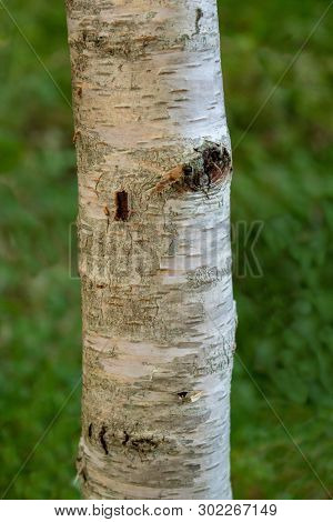 Birch Tree Trunk On A Green Background