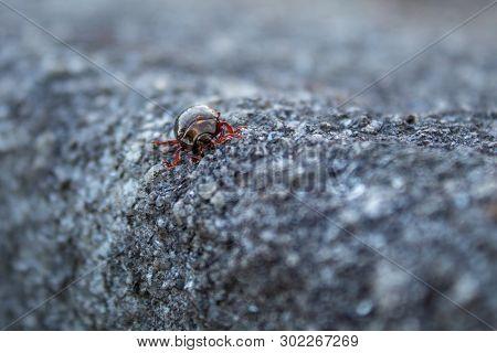 Bronze Metallic Beetle With Translucent Red Legs