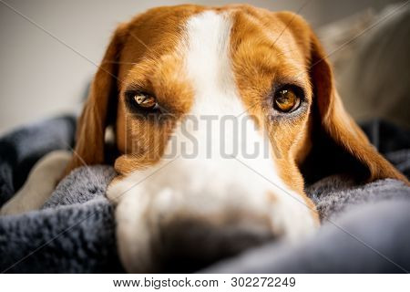 Beagle Dog Laying On Blanket On A Couch. Looking Sad Or Sick. Tired Dog