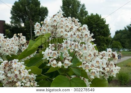 Florescence Of Catalpa Tree In Early June