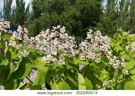 Large White Flowers Of Catalpa Tree In June
