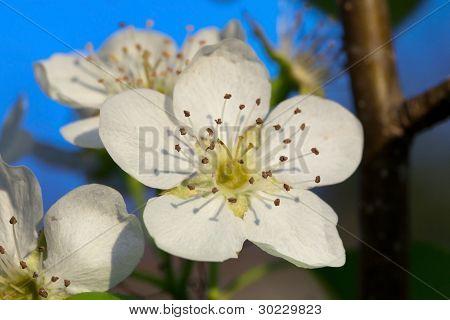 Le Conte Pear Flower - Pyrus Communis Leconte