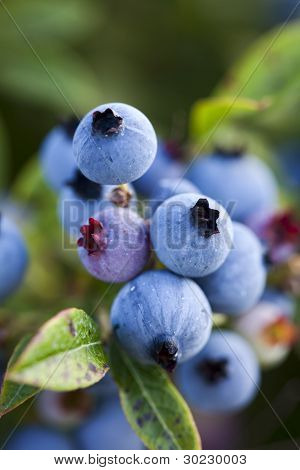 Closeup Of Wild Blueberries Growing In A Field.