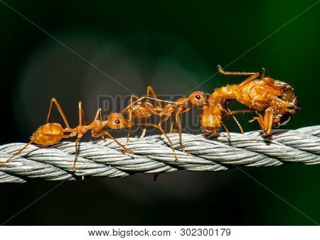 Red Ants Walking And Carry Bug Body.