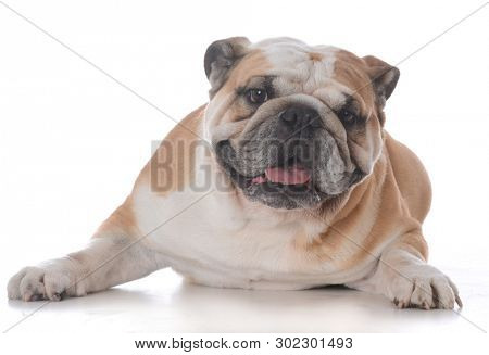 portrait of happy male english bulldog on white background