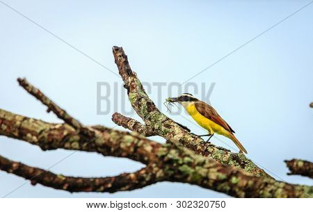 Great kiskadee feeding on an insect at Rincon de la Vieja National Park in Costa Rica