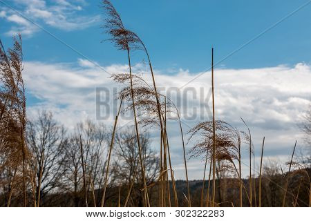 Reeds And White Clouds In Front Of The Hills And The Forest