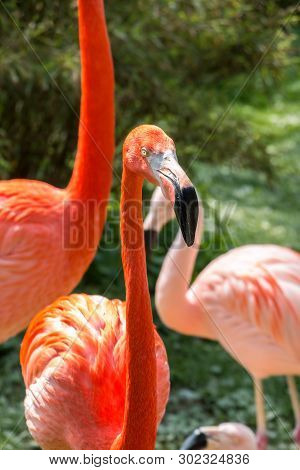 Red Flamingo With Long Neck On The Green Grass