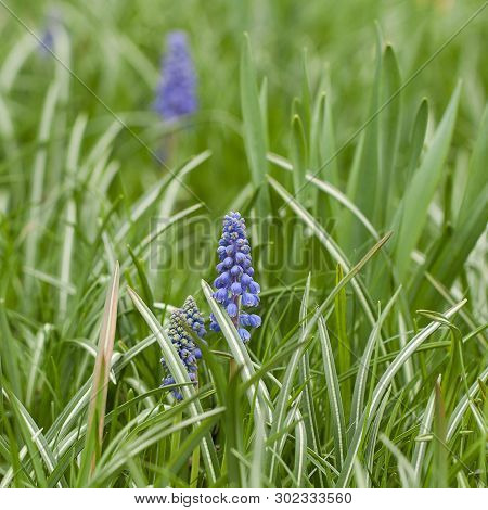 Eautiful Tender Blue Muscari Flowers Blooming In The Green Summer Grass