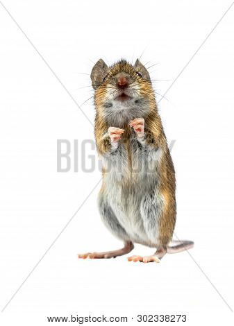 Erected Wood Mouse (apodemus Sylvaticus) Isolated On White Background. This Cute Looking Mouse Is Fo