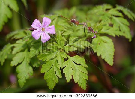 Herb-robert - Geranium Robertianum  Flower, Seed Pods & Leaves