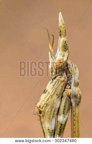 Portrait Of Conehead Mantis (empusa Pennata) Mediterranean Shrubland Ambush Predator Insect