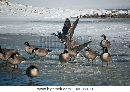 A group of Canada Geese on a partially ice covered pond in winter. poster