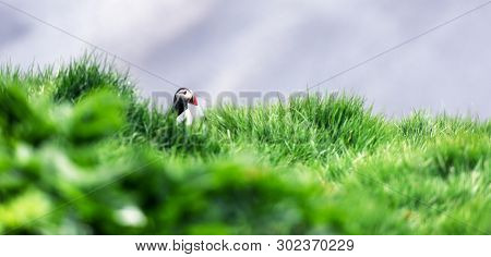 Famous Iceland bird - puffin in green grass near his hole