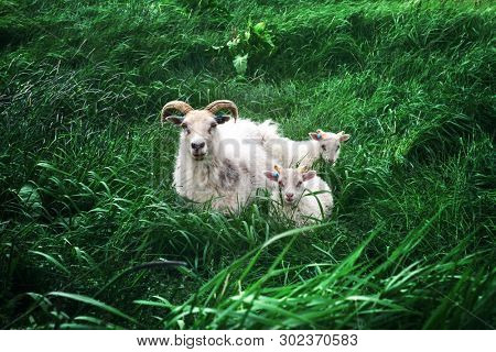 Sheeps family on green grass meadow in Iceland, Europe