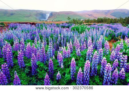 Incredible landscape with lupine flowers field and famous Skogafoss waterfall on background. Iceland, Europe