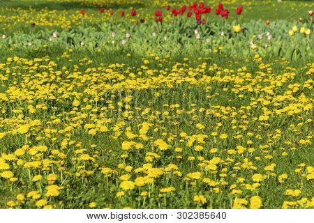 A Small Glade With Yellow Dandelions, Red, Pink And Yellow Gladioli.