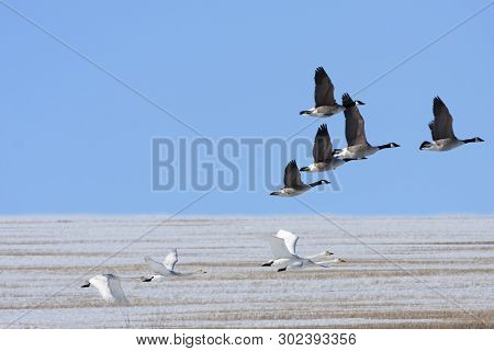 Canadian Goose And Whooper Swan In Migration Above A Snowy Plain. Bright Sunshine And Blue Sky.