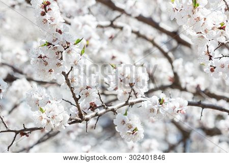 A Scattering Of Flowers On The Branches Of Apricots. Spring. Flowering