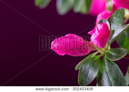 Bright Beautiful Azalea Flower Closeup On Dark Red Background