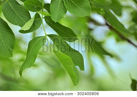 Walnut Leaves Isolated In Garden, Close Up