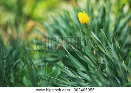One Yellow Tulip Garden In Spring, Close Up