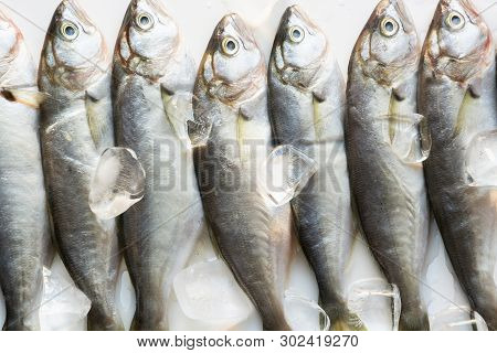 Black Sea Fresh Bluefish On White. Fish Pattern. View From Above.