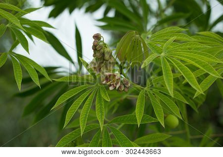 The tree cassava , known acommonly as yuca, used a source of rubber also known as Manihot glaziovii. Flowers casava poster