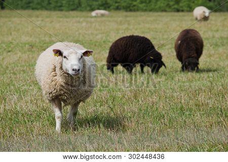 Sheep Herd In Summer Pastureland, In Closeup.